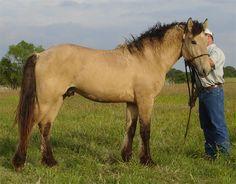 Curly Horse stallion Prairie Hawk Apache Dun