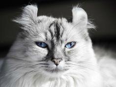 Très agréable à vivre, l'american curl est un parfait chat d'appartement.
