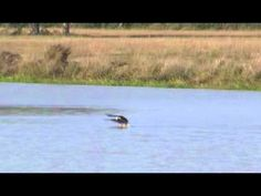 swimming eagle of baton rouge -- watch how it retrieves a dead nutria -- Look how smart he is!  He figured out how to get the nutria to shore.