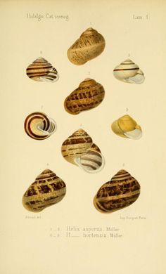 Helix. Catalogo iconografico y descriptivo de los moluscos terrestres de España, Portugal y las Baleares..  Madrid,[1875?]  Biodiversitylibrary. Biodivlibrary. BHL. Biodiversity Heritage Library