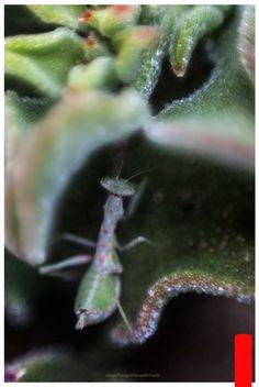 """Amantins religiosa posada en una barrilla """"Mesembryanthemum crystallinum"""" en La Graciosa, Lanzarote.  D-SLR + 50 mm + anillo inversor+ Enfoque manual con el movimiento de la cámara"""