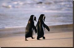 Stretched Canvas Print: African Penguins : 24x36in