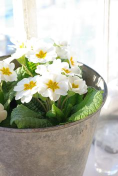 Signs of Spring with this beautiful white variety.