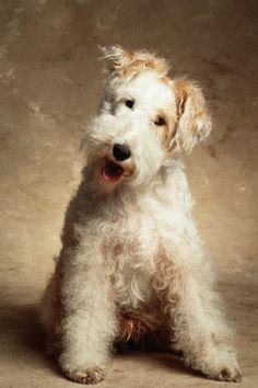 Most Successful Dog Breeds Fox terrier. Fox Terriers, Perro Fox Terrier, Wire Fox Terrier, Wheaten Terrier, Terrier Mix, Terrier Dogs, Pet Dogs, Dogs And Puppies, Doggies