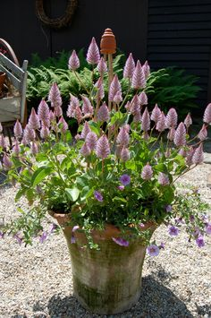 Darling pot of Ptilotus exaltatus 'Joey'