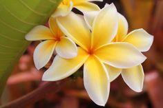 jasmine flower- tattoo idea