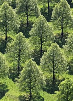 Aerial view of the linden tree rows at the Southern Cemetery in Munich-Perlach
