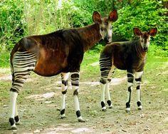 Okapi - Okapia johnstoni. Vive en las tupidas selvas del norte de la República Democrática del Congo entre los ríos Uelle, Ituri y en las selvas de Aruwimi. Especie en peligro. [Wikipedia]