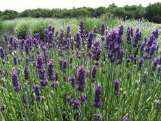 Seven Oaks Lavender Farm Prince William County, Things To Do, Bouquet, Garden, Flowers, Plants, Third Eye, Lavender, Things To Make