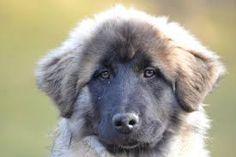 Estrela Mountain Dog / Portuguese Shepherd / Cão da Serra da Estrela