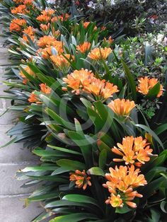 Dream Garden Clivia miniata- partial to full shade allow soil to start to dry between watering.Dream Garden Clivia miniata- partial to full shade allow soil to start to dry between watering Florida Landscaping, Tropical Landscaping, Landscaping Plants, Landscaping Ideas, Tropical Backyard, Tropical Plants, Florida Gardening, Exotic Plants, Shade Garden Plants