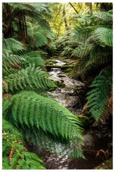 Images of Tarra-Bulga National Park Cippsland Vic Australia Vic Australia, Victoria Australia, Beautiful World, Beautiful Places, Countries Of The World, Forests, Ferns, Blue Bird, Cactus Plants