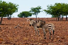 The plains zebra is found across east and southern Africa savannahs but continued population decline and threatens its survival. Learn what AWF is doing to protect this iconic species plus interesting zebra facts. Plains Zebra, Family Units, Wildlife Conservation, Zebras, Fun Facts, This Is Us, Survival, Africa, Harems