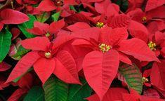 Der Weihnachtsstern wird wie viele Zierpflanzen nach der Blüte meist einfach entsorgt. Dabei ist es gar nicht so schwierig, ihn wieder zum Blühen zu bringen. Wir verraten Ihnen, was Sie dafür tun müssen.