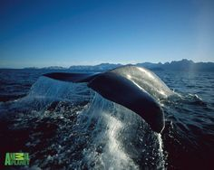 free wallpaper and screensavers for whale  by Hoyt Sheldon (2017-03-04)