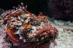 """Scorpaenidae, the scorpionfish, are a family of mostly marine fish that includes many of the world's most venomous species. As the name suggests, scorpion fish have a type of """"sting"""" in the form of sharp spines coated with venomous mucus.(via Wild Eye Images)"""