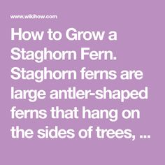How to Grow a Staghorn Fern. Staghorn ferns are large antler-shaped ferns that hang on the sides of trees, and they make stunning displays when mounted on the wall inside your home. Propagating fern spores is time consuming, but it is...