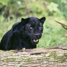 Black Panther Cat | Panther The Cat
