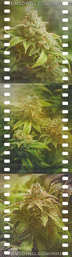 Cannabis Photography by KimSidwell.com/mmj