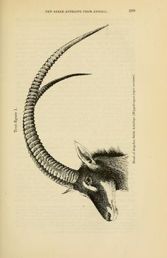 A new Sable Antelope from Angola