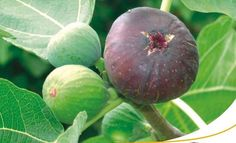 """FICHI CILENTO    """"Le Castagnelle"""" produce e vende nella sua fattoria non lontana dalla casa FRUTTA, VERDURA, CACIORICOTTA, OLIO EXTRAVERGINE DI OLIVA, VINO ROSSO e altri prodotti rigorosamente biologici."""