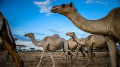 """""""Guess what day it is?... Hump day!"""" These forward thinking camels are featured in EARTH A New Wild"""