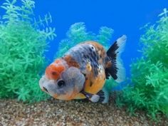 71 Best Ranchu + Lionhead + Lionchu goldfish only images in