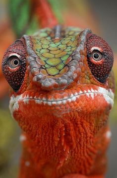 Colorful chameleon is so over it.