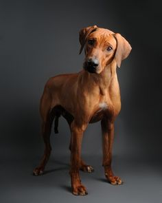 Such a gorgeous breed (Rhodesian Ridgeback).