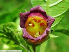 Herbář Wendys - Atropa bella-donna - rulík zlomocný Rose, Flowers, Plants, Pink, Plant, Roses, Royal Icing Flowers, Flower, Florals