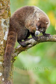 White-nosed Coati, Nasua narica, Costa Rica/Flickr: Intercambio de fotos
