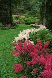 Astilbe border for shade. It is moisture tolerant and deer resistant. Astilbe is best planted in areas that receives only a couple hours of sun. Shade Flowers, Shade Plants, Shade Garden, Garden Plants, Astilbe, Shade Perennials, Woodland Garden, Plantar, New Blue