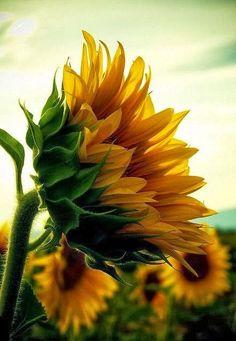 "86vintagehome: ""sunflower """