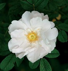 Rosa rugosa 'Henry Hudson' | Fine Gardening - Hardy to Zone 3, Height:4ft., Repeater - white with pink hue; double and cupped when open; nice fragrance; very low (3ft x 3ft); tough, deep green foliage; suitable as a low bedding plant; very healthy