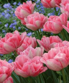 Selections from the John Scheepers Beauty from Bulbs Dutch Flower Bulbs Catalog Tulip 'Foxtrot' from johnscheepers.com