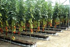 The greenhouse technique for infinite tomatoes - easyPonic Hydroponic Farming, Tomato Farming, Aquaponics Diy, Hydroponics, Commercial Farming, Commercial Greenhouse, Container Gardening, Gardening Tips, Apartment Herb Gardens