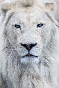 Beautiful White Lion  by Scott D Photography                                                                                                                                                                                 More