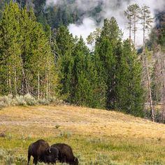 【whekau】さんのInstagramをピンしています。 《A pair of bison grazing side by side in Yellowstone National Park, with a steaming geyser on the background.  #bison #couple #animals #geyser #wildlife #canon #nature #forest #森 #landscape #travel #wyoming #yellowstone #usa #бизон #животные #間欠泉 #закат #пейзаж #путешествие #гейзер #лес #природа #сша #バイソン #動物 #自然 #風景 #旅行 #アメリカ》