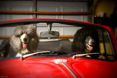 If they only had thumbs...  Poodles would drive!!