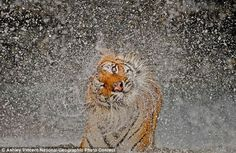 Taking a bath: An Indochinese tiger named Busaba shakes herself dry in the winning photo of National Geographic's 2012 contest