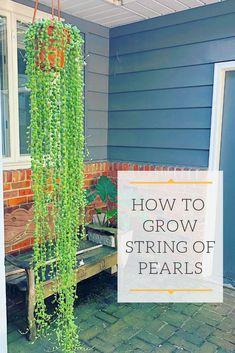 How Not to Kill String of Pearls Learn everything you need to know to grow this beautiful trailing succulent Everything from light water soil blends fertilizer propagation and how NOT to kill them Succulent Gardening, Cacti And Succulents, Planting Succulents, Container Gardening, Planting Flowers, Succulent Landscaping, Propagating Succulents, Growing Succulents, Vegetable Gardening