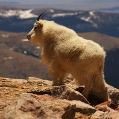 Walking The High Country - Mt Evans is a 14,000 peak you can drive to the very top. At the top of the mountain there is a herd of Mt. Goats. They are very beautiful animals. Don't crowd the goats. If you give them their space they can be very tolerant of people. Photo By Stephen Hall.