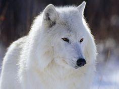 White wolf. So gorgeous