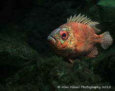 A beautifully colored orange fish with big by AlanHinkelPhotos, $19.95
