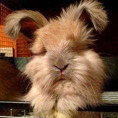 Meet Eva, my 7 week old English Angora baby! : Rabbits