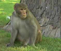 The Rhesus macaque monkeys has been a long staple in primate research. Can this monkey species provide scientists with the model needed to study Zika virus in primates that could lead to effective vaccines and treatment?