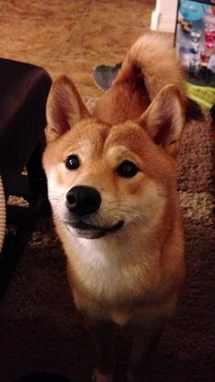 Shiba Inu Puppies How To Potty Train A Puppy House Training Tips Housebreaking Fast Easy Share