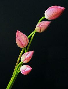 Lotus buds (on black)