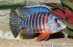 Aulonocara hansbaenschi, Red Shoulder: adult male!