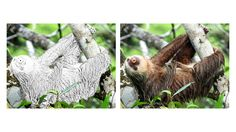 Sloth coloring page Zoo Animal Coloring Pages, Zoo Animals, Sloth, Sloth Animal, Sloths